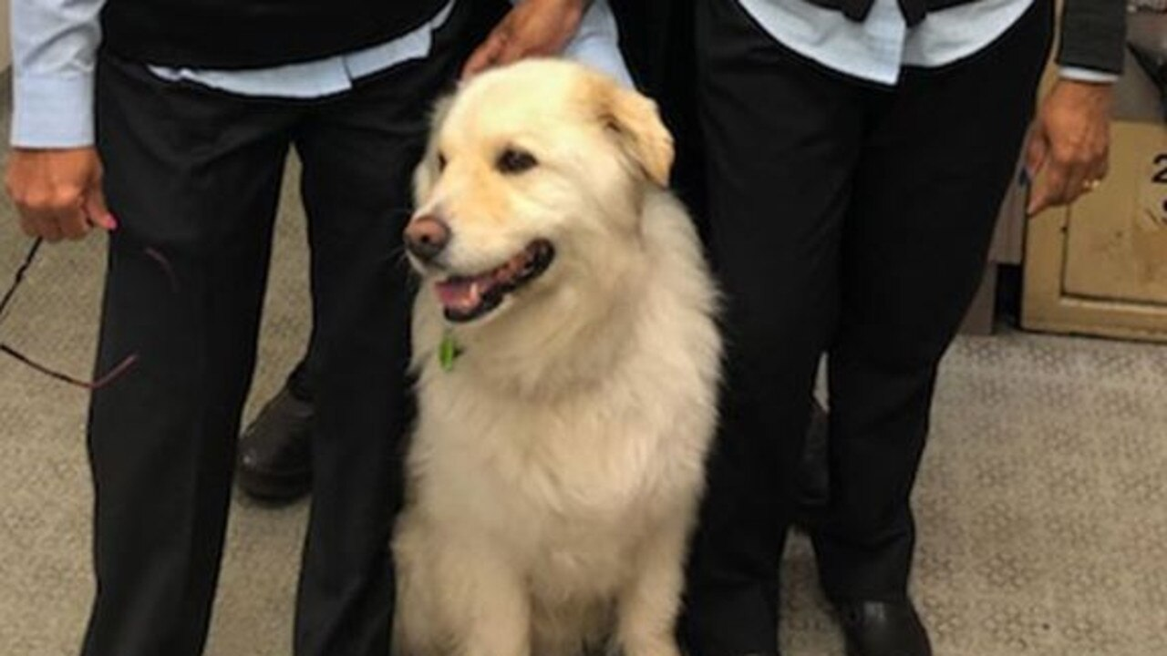 Ralph the runaway retriever had an eventful trip around one of Australia's biggest cities, accidentally catching a train without his owners knowing.