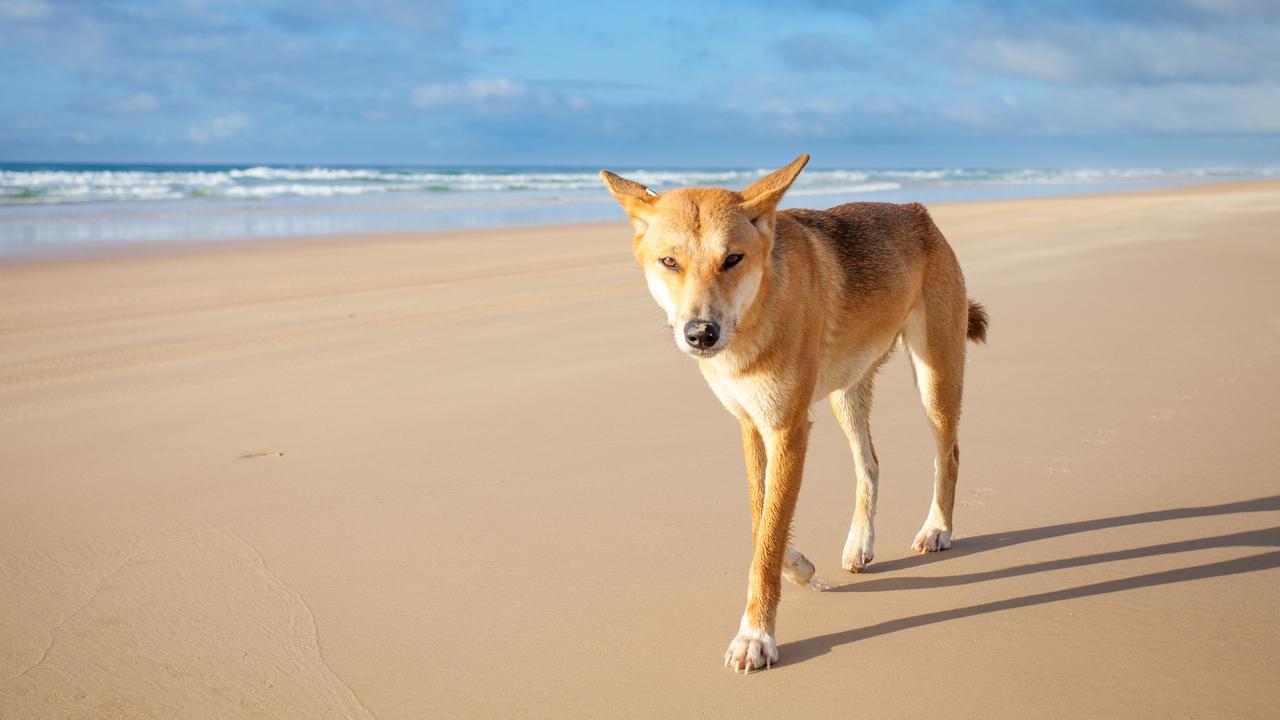 A dingo walking along 75 mile beach on Fraser Island on a sunny day