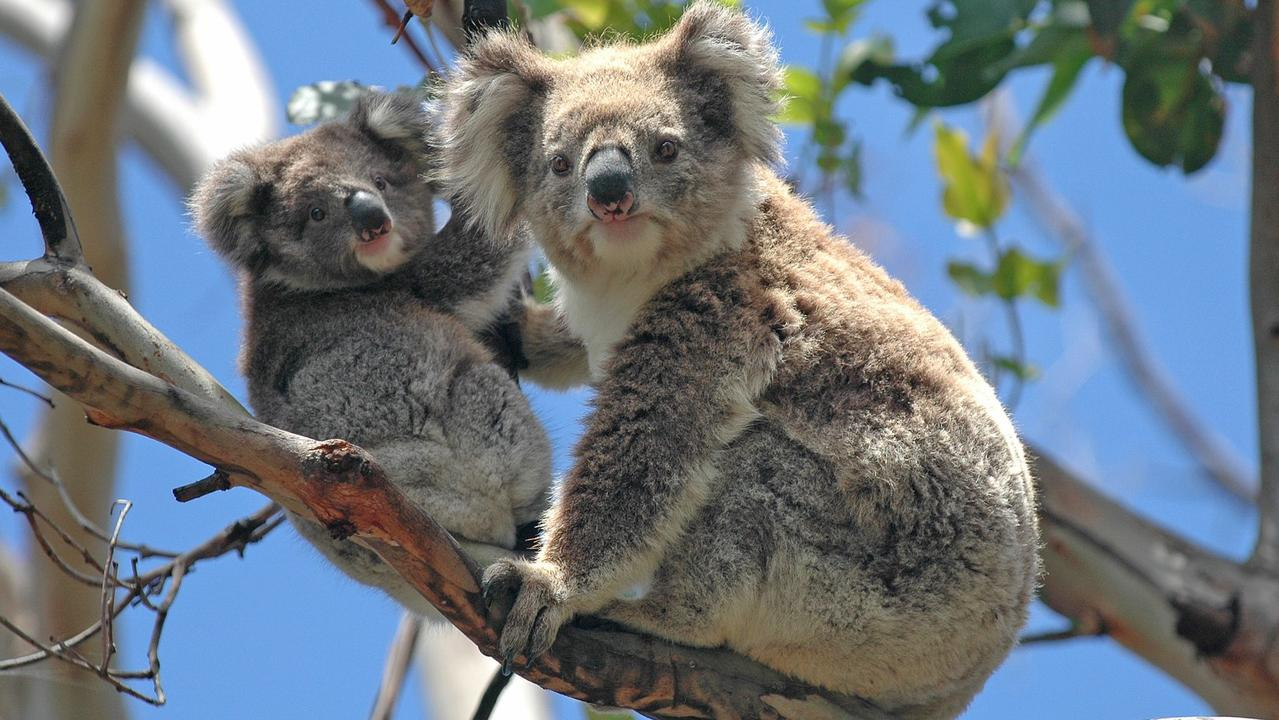 Noosa koalas could benefit from new conservation zoning laws. Photo: Robert Cicchetti