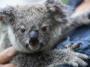 Koalas could be wiped out by 2050 because of fires