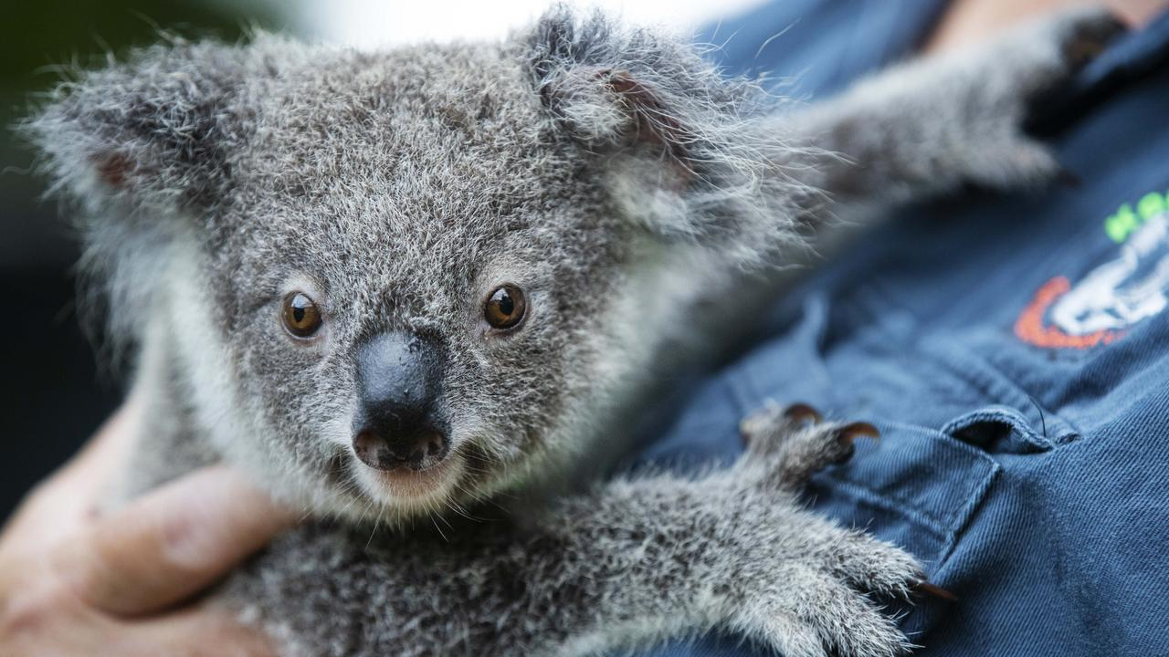 HABITAT THREATENED: The Koala will lose 5,893 hectares of habitat if the Olive Downs coal mine is approved by the government for construction. Photo Lachie Millard