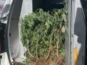 Man charged after police find cannabis crop on busy road