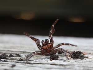 Warnings over funnel-web 'bonanza'
