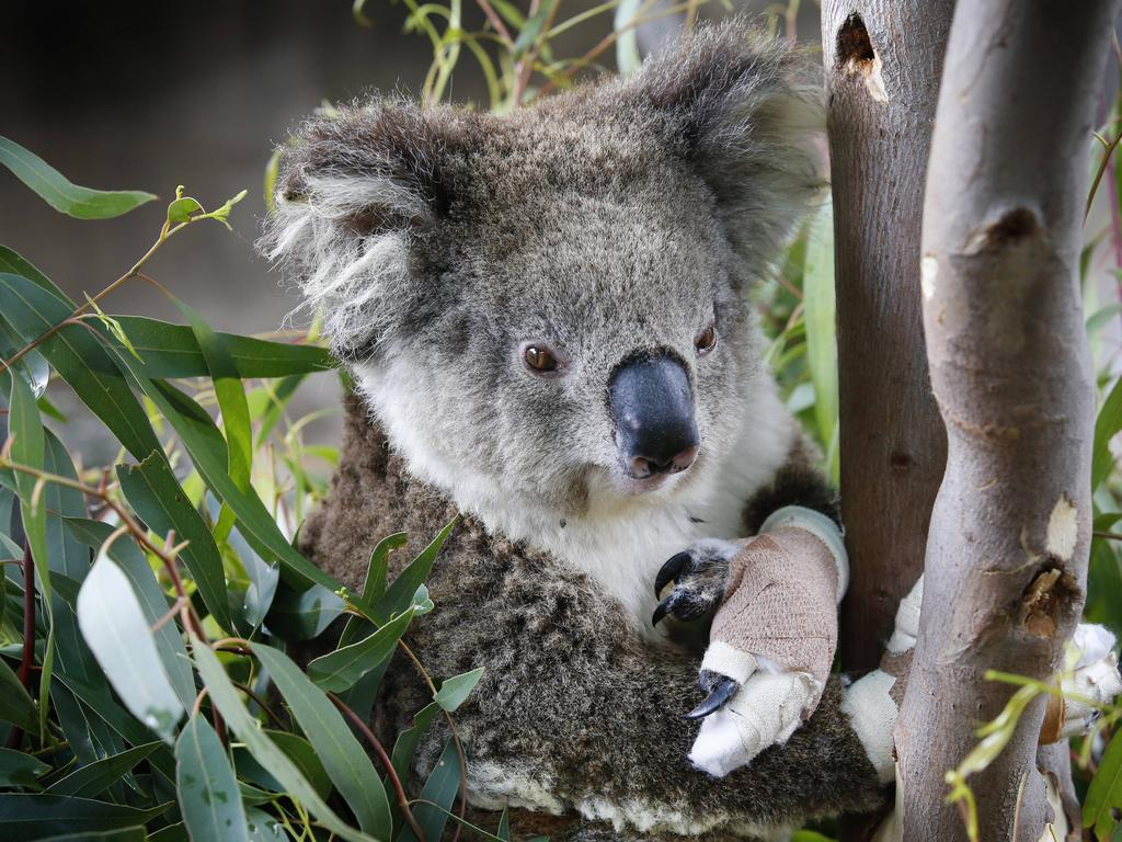 Melbourne Zoo currently has three koalas in care from the Mallacoota fires undergoing treatment. Annie, a young female, has bandaged paws from burns walking on hot ashes. Picture: David Caird