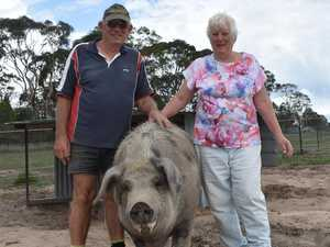 Psychic pigs predict Granite Belt future