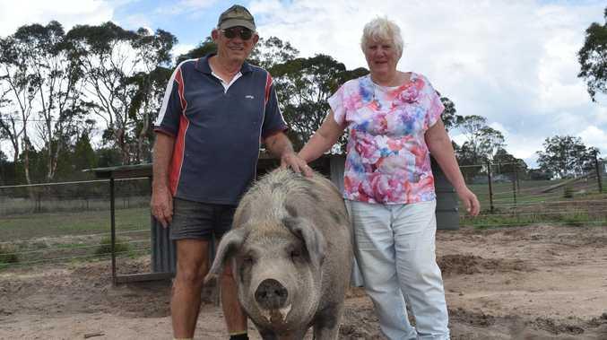 Psychic pigs predict Granite Belt future