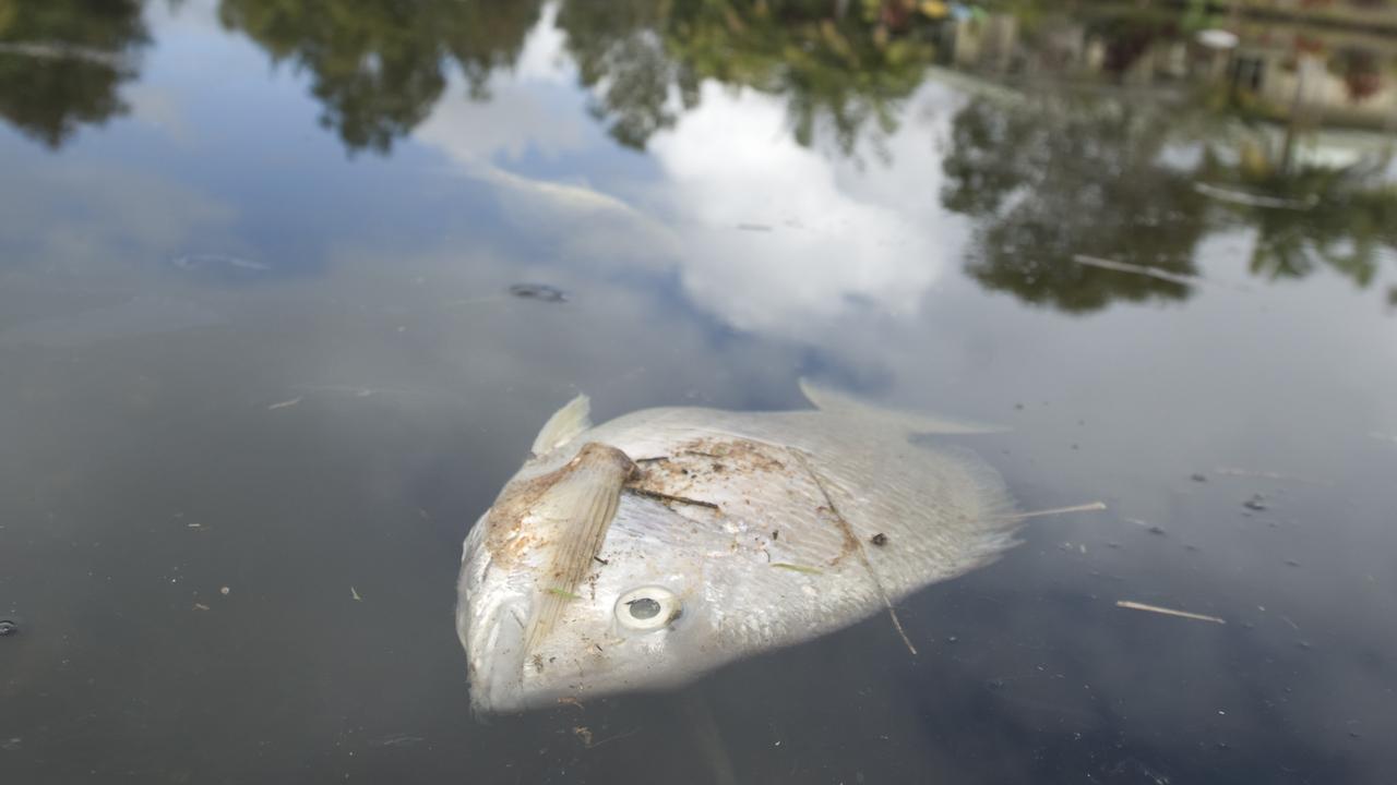 10,000 FISH KILL: Richmond River is the latest river where a fish kill has occured.