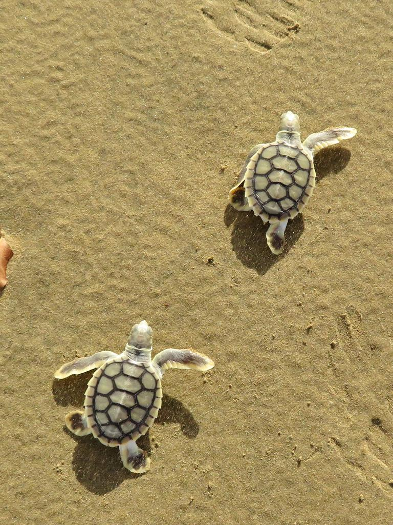 NESTING SEASON: Flatback turtle hatchlings scurrying to the ocean. Picture: Joley Whiting