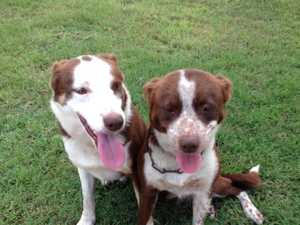 Working dogs of the South Burnett