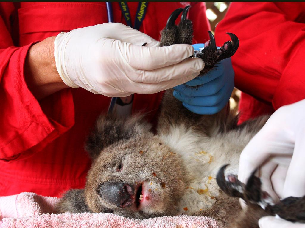 National tragedy: An injured koala is treated at the Kangaroo Island Wildlife Zoo on January 10, 2020, just one victim in a national crisis that has already claimed an estimated one billion animals. (Lisa Maree Williams/Getty Images) *** BESTPIX ***