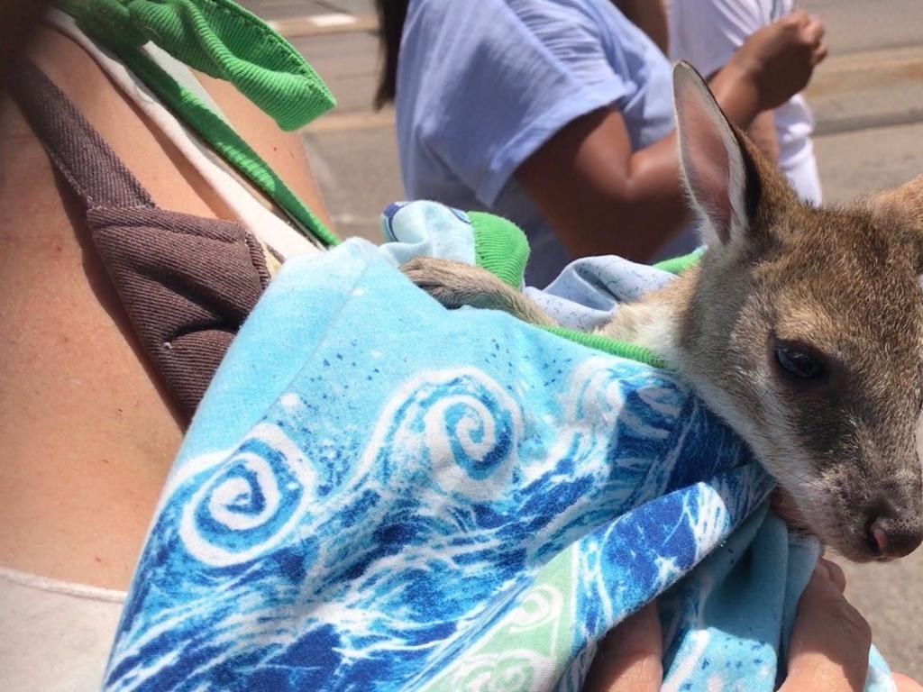 Safe and sound on the ground at Sunshine Coast Airport. One of 15 orphaned Agile wallaby joeys that were flown south from drought-ravage Townsville to start a new life here. Sadly one of the most ill joeys died while receiving treatment at the Australia Zoo hospital.