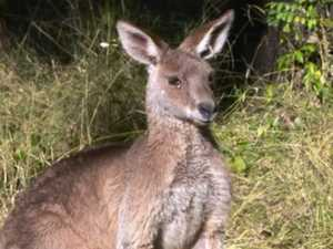 Horror and heartbreak as impaled roo left to die in agony