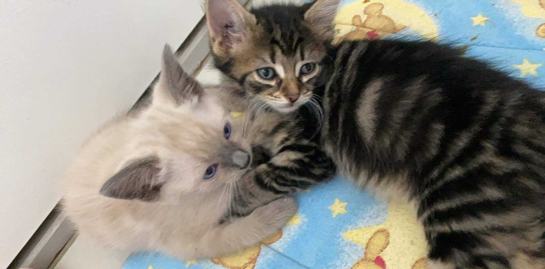 These kittens have been rescued after being thrown from a moving car.