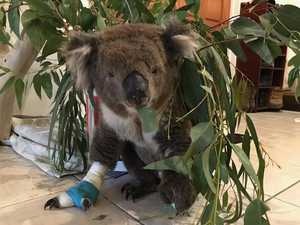 Heartbreak as koala rescued in bushfires dies
