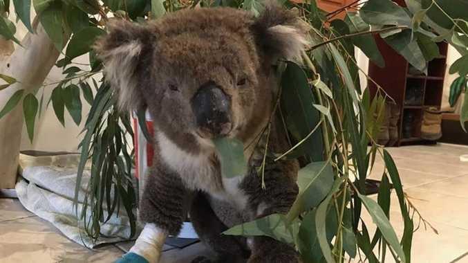 Heartbreak as koala rescued in bushfires dies