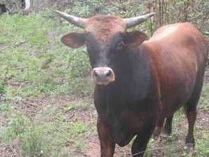 UPDATE: Wandering bull reunited with owner
