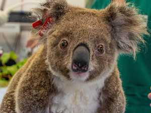 Koalas will be wiped out in five years: expert dire warning