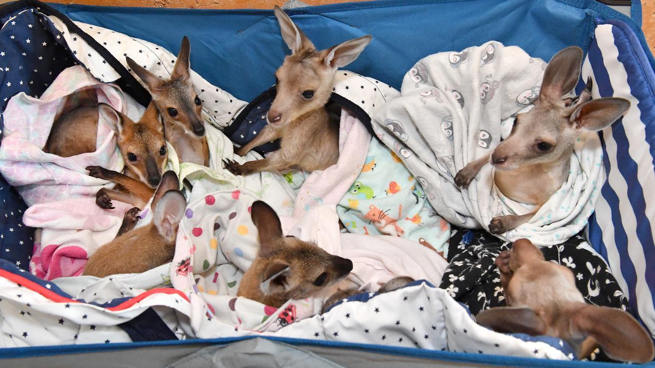 A cart of orphaned Kangaroo and Wallaby joeys are seen at Australia Zoo Wildlife Hospital in Beerwah.