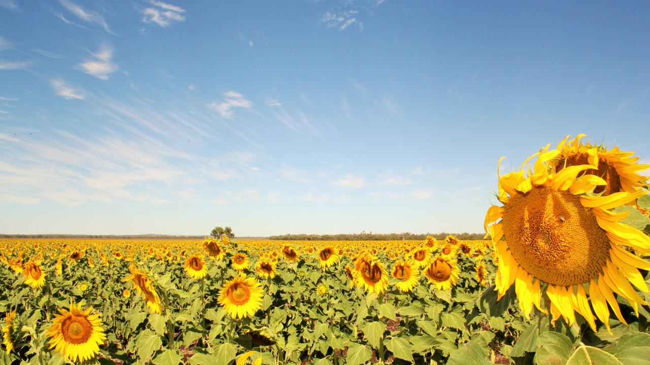 Sunflowers on a warm day. Picture: Genevieve Dunbabin