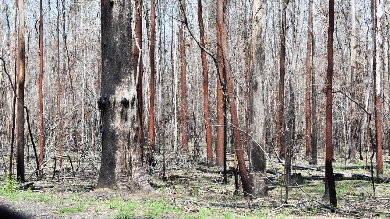 GREEN GROWTH: Pictured is the slowly recovering bushland surrounding Rappville following the October bushfire. This photograph was taken on January 30, 2020. Photo: Susanna Freymark