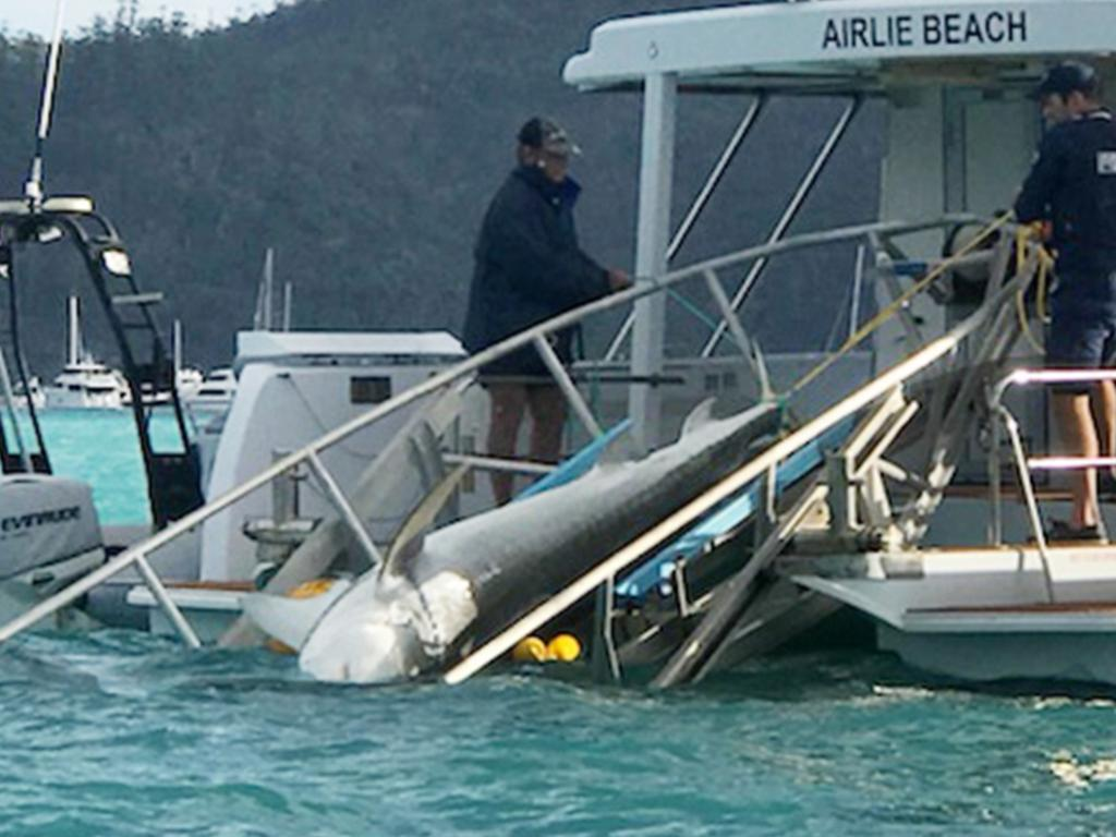 A Shark is caught on a drum line in the Cid Harbour, Whitsundays, following a near-fatal attack in 2018.