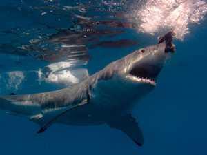Shark nets to make shock return to Queensland waters