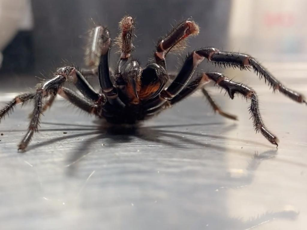Massive funnel-web spider at Australian Reptile Park.