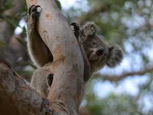 DA court battle drags on as koala inquiry comes to Coffs