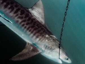Solution to shark control issue found for Capricorn Coast