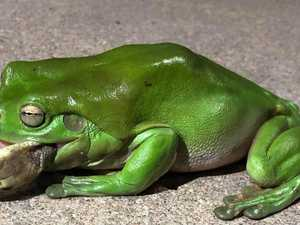 A hungry green tree frog ate a deadly snake