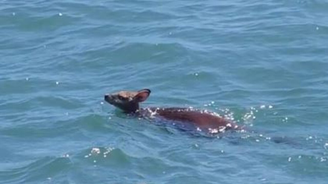A wallaby was rescued by Water Police off Stradbroke Island. Picture: Queensland Police