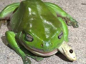 Deadly snake-eating frog lives on