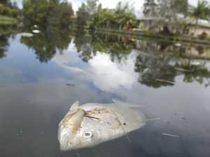 Flooding spells disaster for thousands of local fish