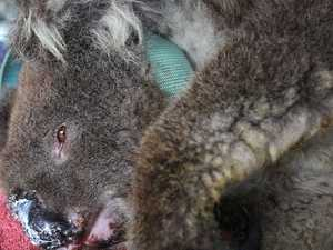Fury fires up as State Government fails koala test