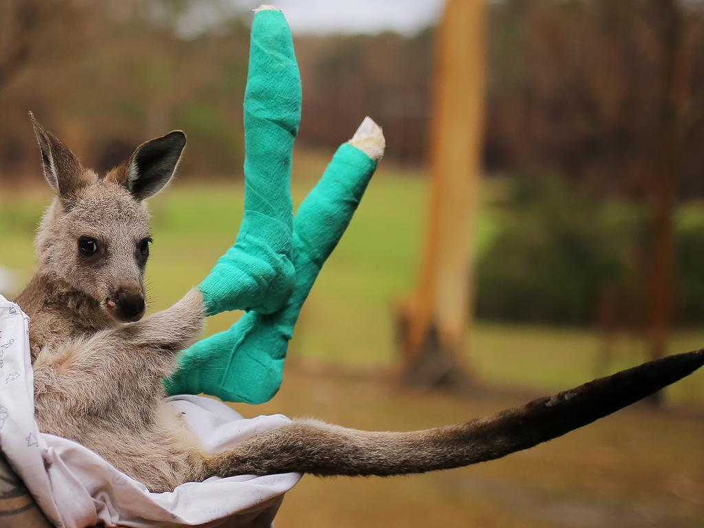 An orphaned eastern grey kangaroo joey recovering from burns in the care of Kevin Clapson from WIRES. Picture: Steven Saphore