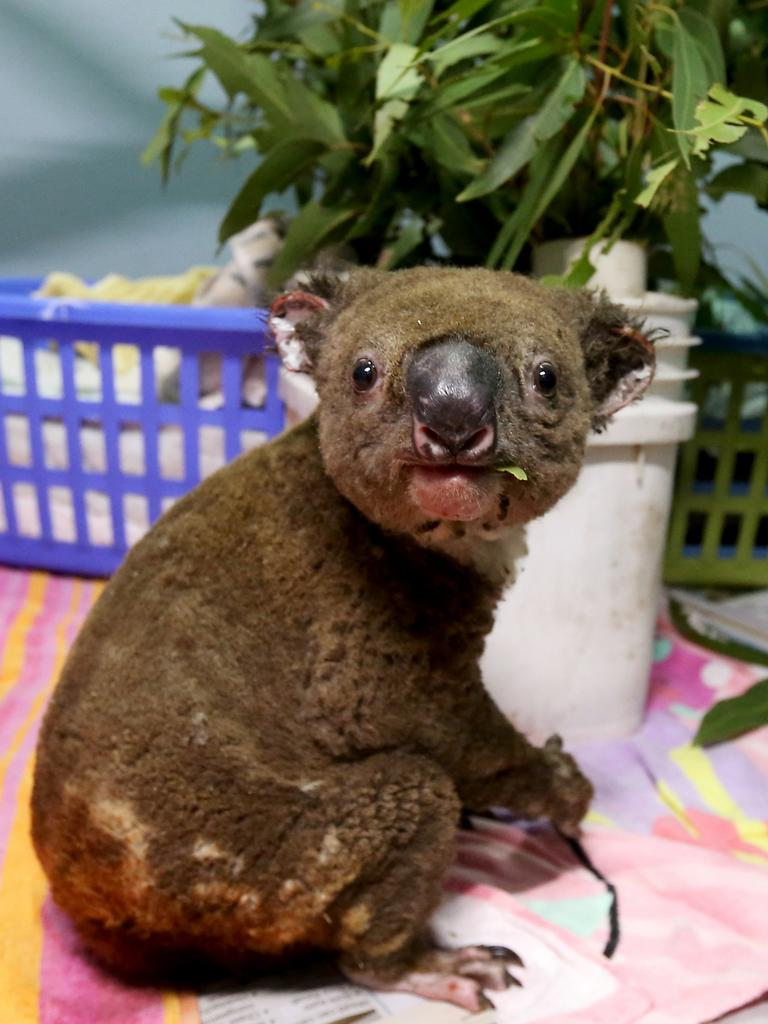 A koala named Paul recovers from his burns in the ICU at The Port Macquarie Koala Hospital. Picture: Nathan Edwards
