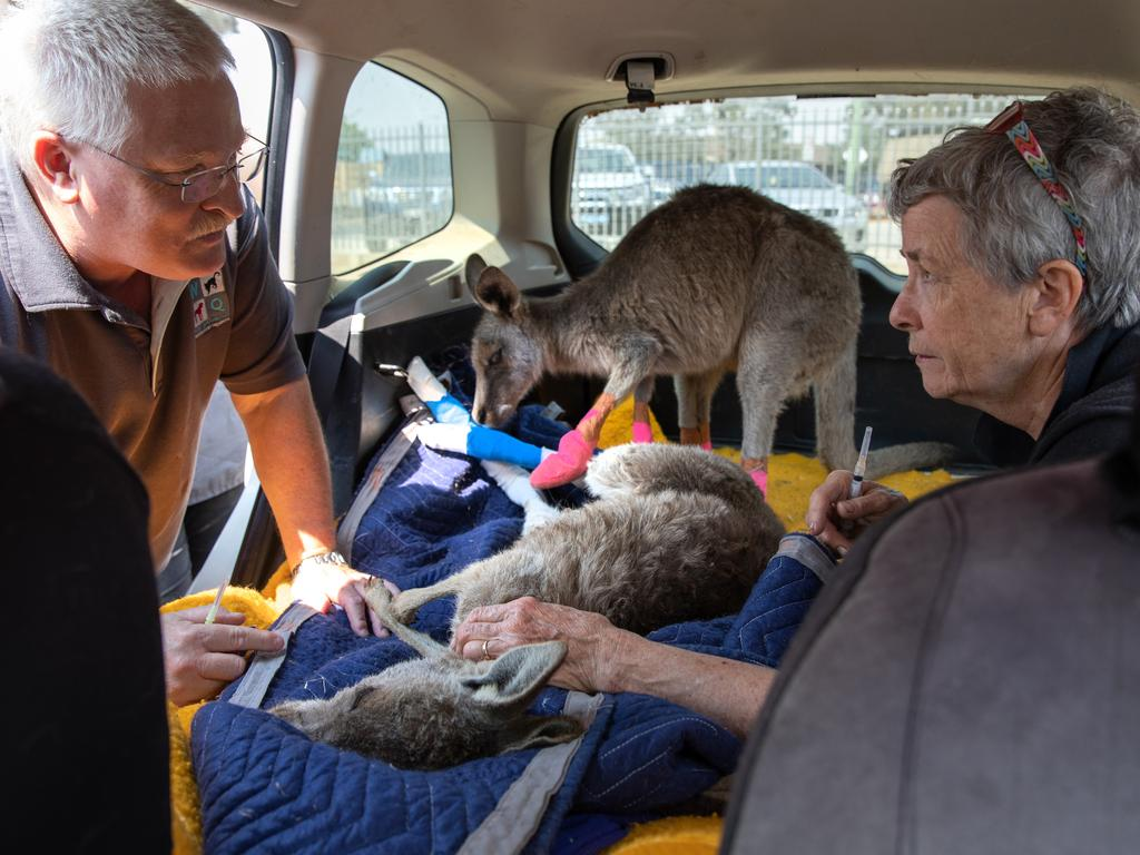 Veterinarian Brett Jones consults with wildlife caregiver Rosemary Austen after changing a burned kangaroos' bandages. Photo: John Moore