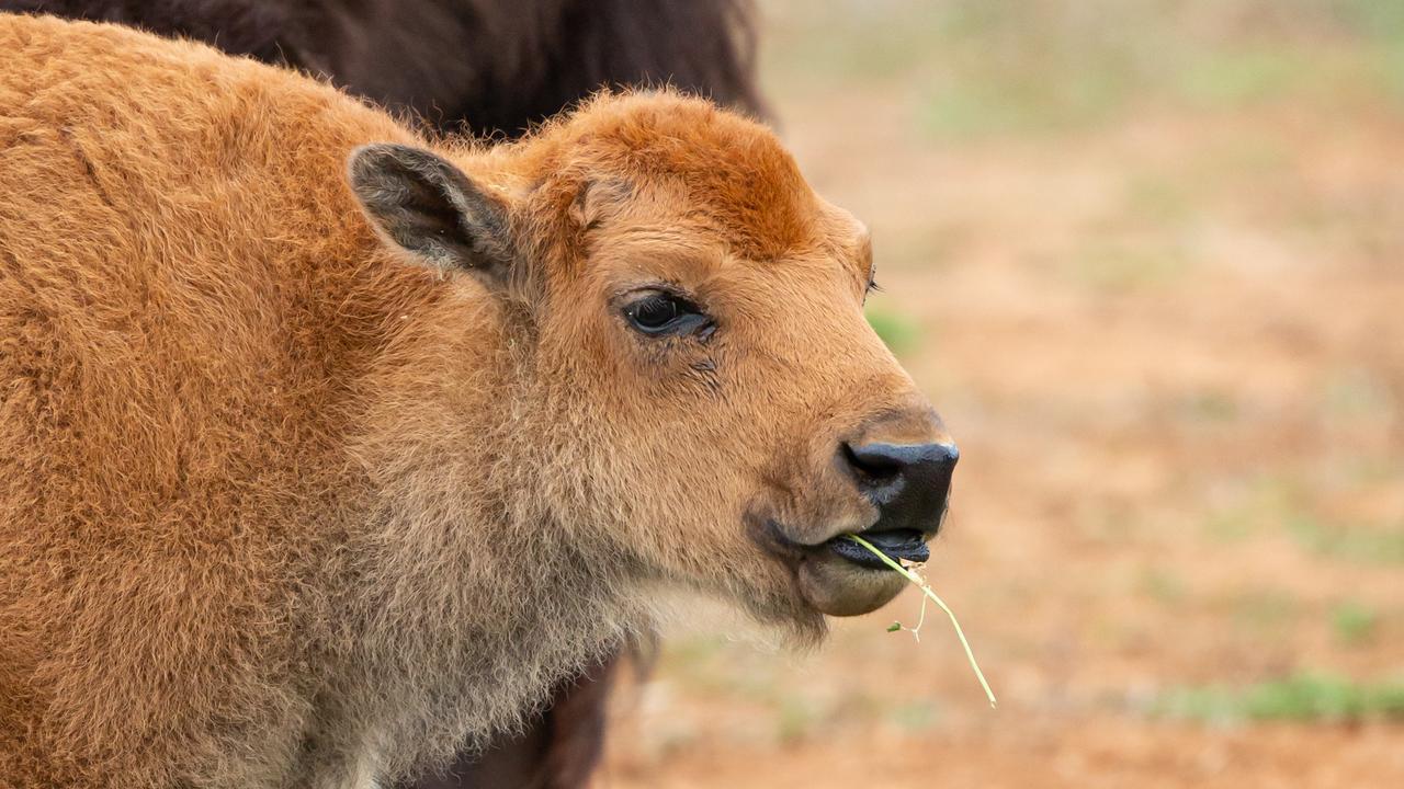 New baby bison Taami at the Werribee Open Range Zoo.