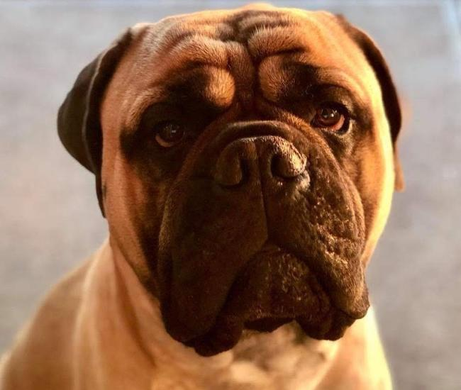 Brian, a three-year-old bull mastiff, disappeared last Thursday. Picture: Brenton Lawrence