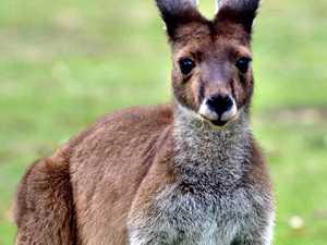 Man attacked while removing kangaroo from yard