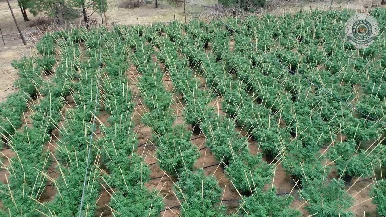 MORE than 1800 mature marijuana plants were found in the massive take-down. CREDIT: QPS