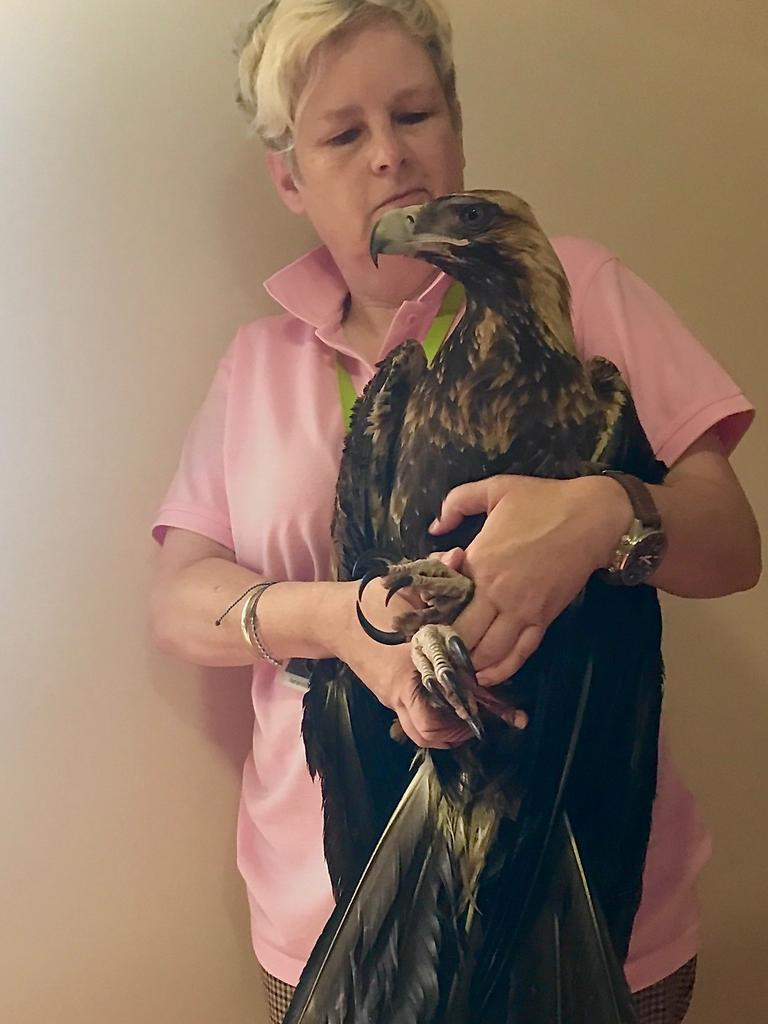Claire Smith of Sunshine Coast Wildlife Rescue with the bedraggled wedgetail eagle nicknamed Aquila after it was retrieved from a flooded horse paddock Wednesday night