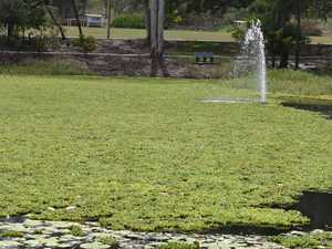 Duck pond weeds could remain for several months