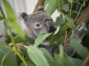 Koalas in care