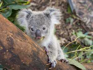 VOICES FOR THE EARTH: NSW Government's Koala Policy