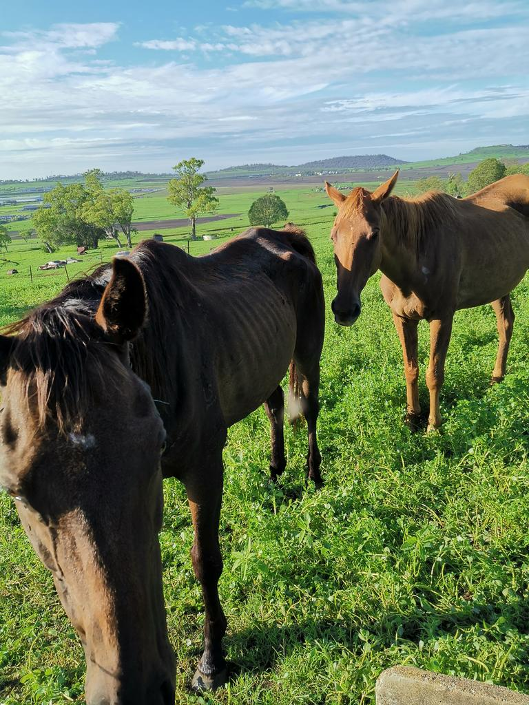 Horses rescued from the property near Toowoomba.