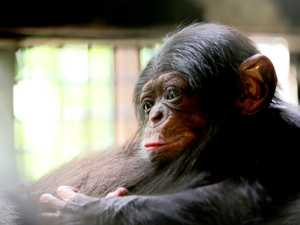 Your chance to name Rockhampton Zoo's new baby chimp