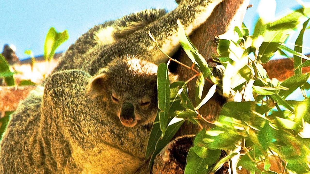 Noosa koalas need every chance of survival.