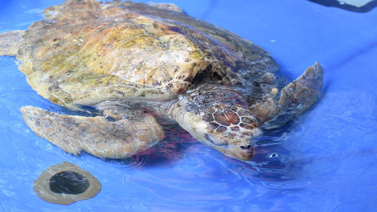 Poly the loggerhead turtle is one of the many turtles who has been rehabilitated and released Quoin Island.
