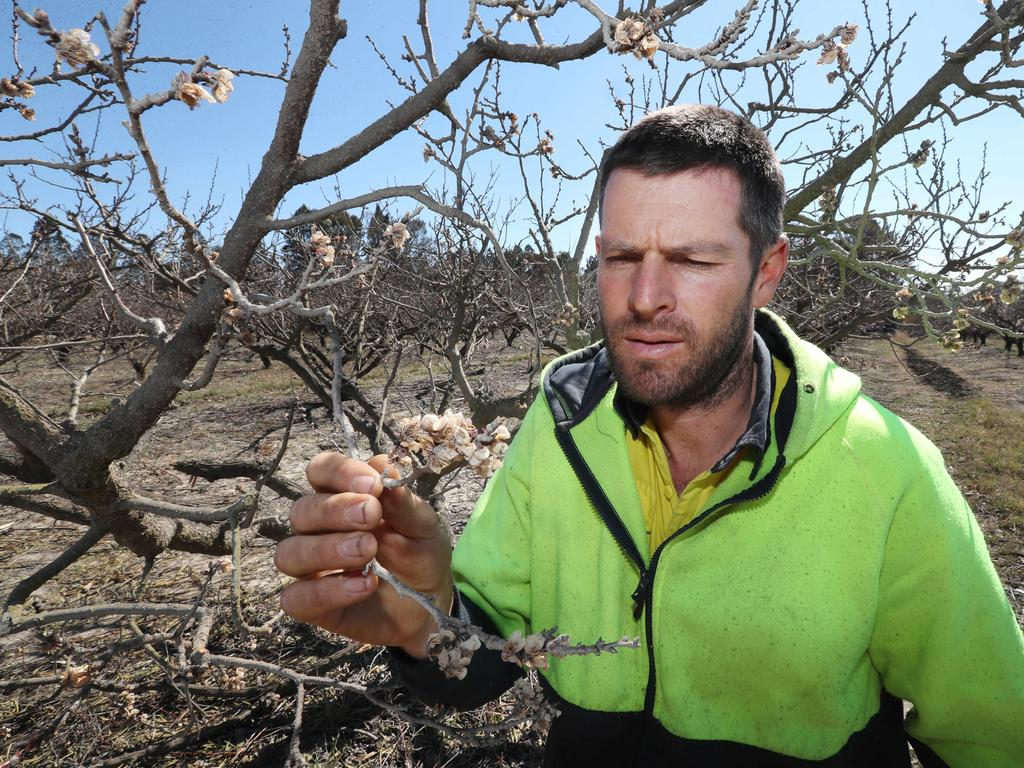 Anthony Giacosa inspects a dead apricot tree. Picture: Annette Dew